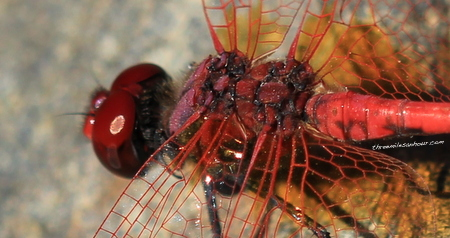 With the magic of Chris' macro lens, you can really see how intricate these creatures are up close. His thorax looks like it is inlaid with rubies. Such pretty little things!